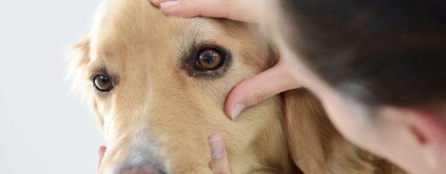 Occhi secchi nei cani: cause e trattamento della cheratocongiuntivite secca
