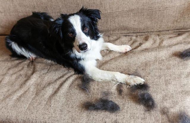 la Caída de pelo en perros