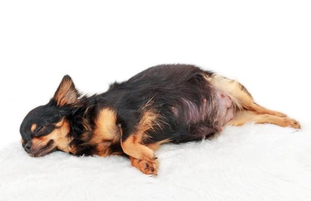 Causas del aborto en perros