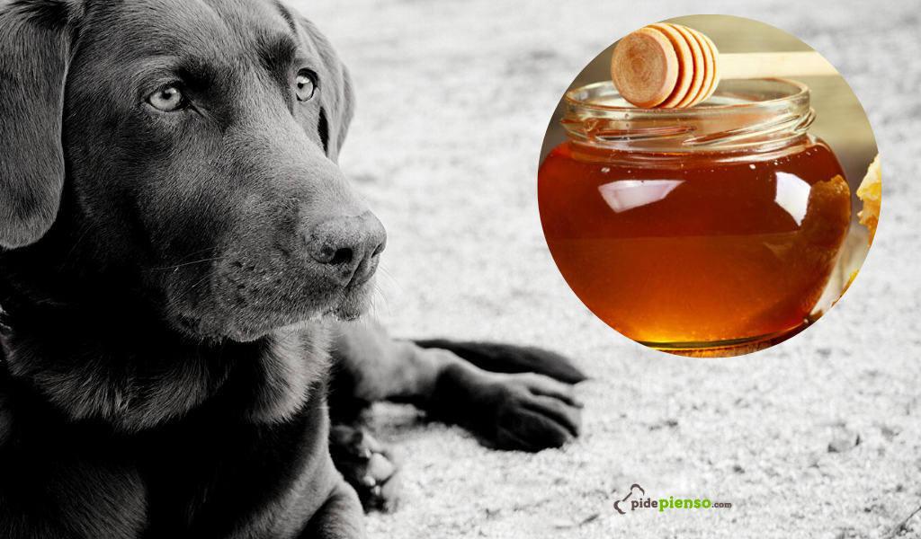Los perros pueden comer miel