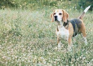 Remedios caseros para la gastroenteritis en perros