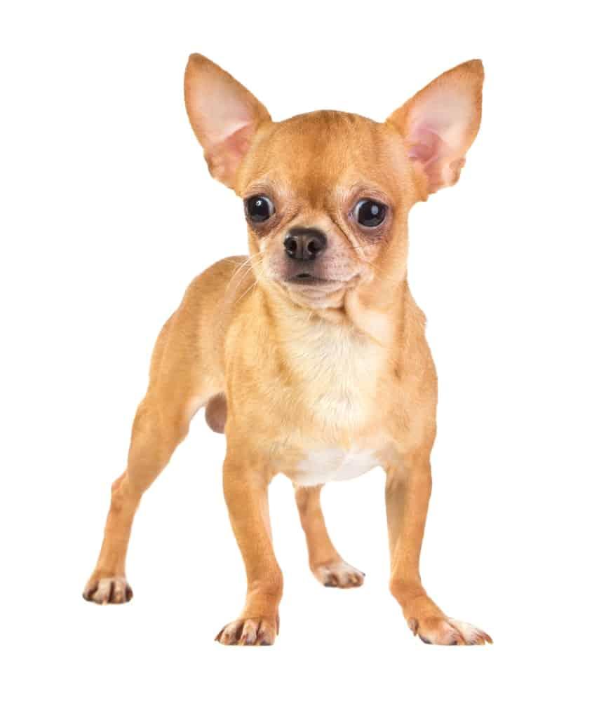 cuanto viven los perros de raza pequeña