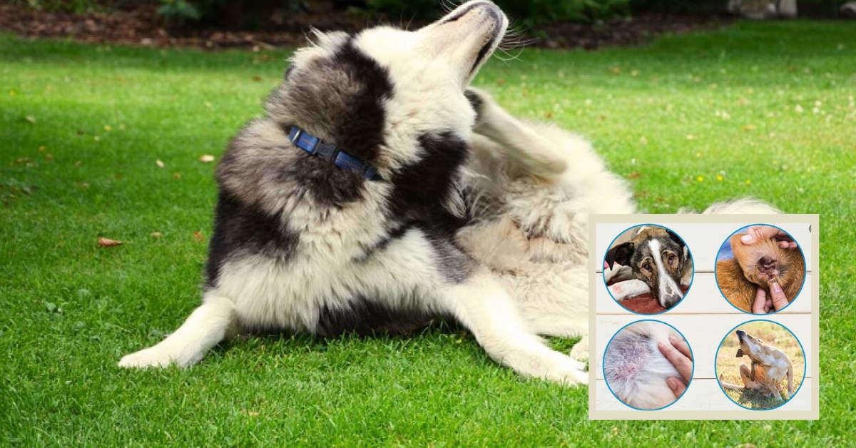 perro con dermatitis rascándose