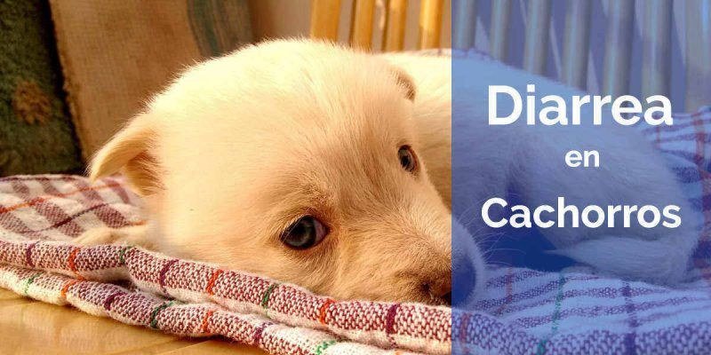 diarrea en los perros cachorros