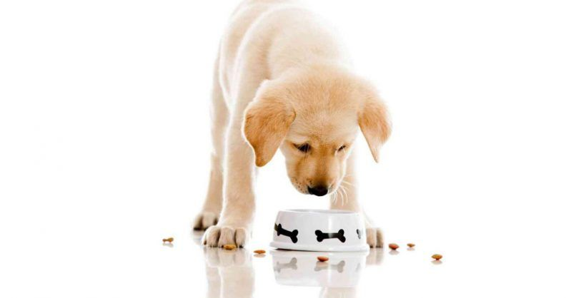 perro cachorro labrador comiendo pienso