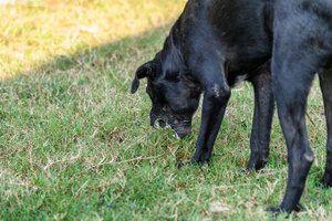 Gastroenteritis en perros 1