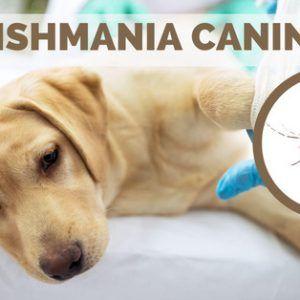 perro con leishmania