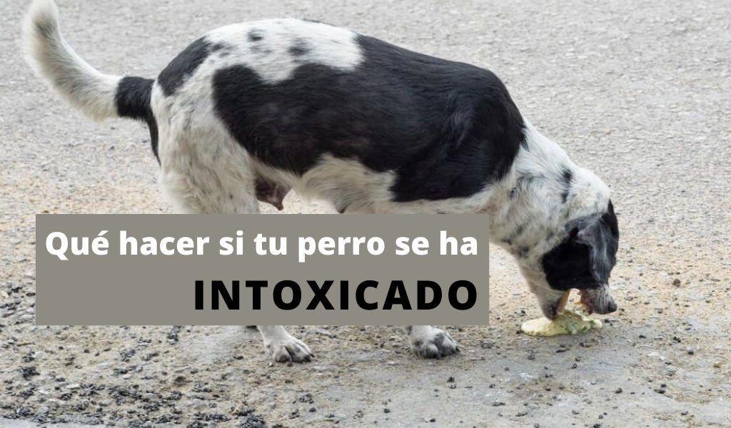 que hacer si tu perrro se ha intoxicado