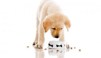 El mejor pienso para un labrador: clasificación y consejos útiles para comprar