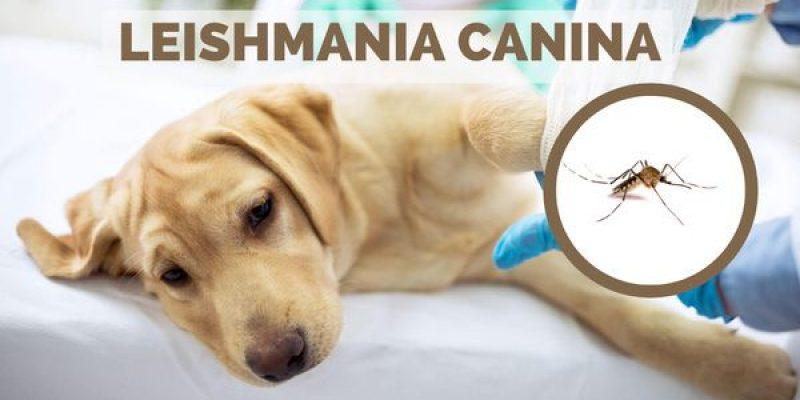 Leishmania en perros