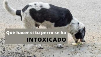 Qué hacer si tu perro se ha intoxicado